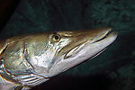 Northern Pike close-up of face