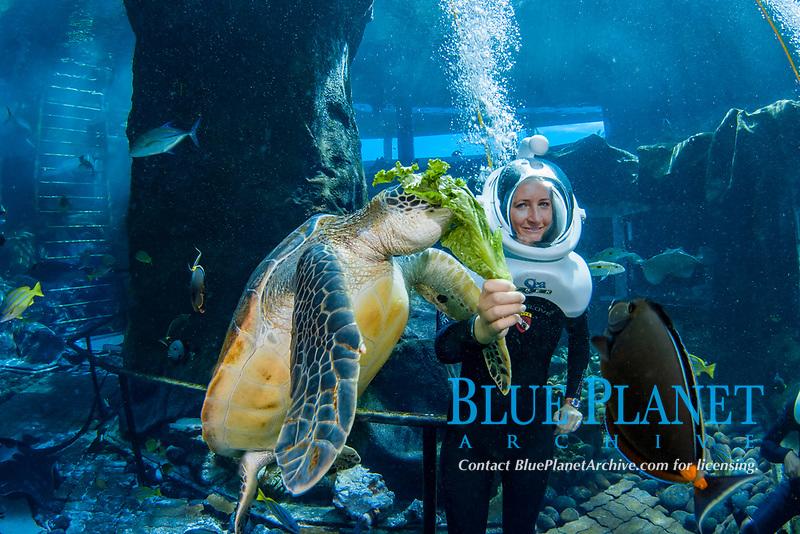 snuba diver (MR) feeds a green sea turtle, Chelonia mydas, in an aquarium at Sea Life Park's Underwater Sea Trek Adventure, Oahu, Hawaii, USA, Pacific Ocean