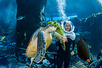 snuba diver (MR) feeds a green sea turtle, Chelonia mydas, in an aquarium at Sea Life Park's Underwater Sea Trek Adventure, Oahu, Hawaii, USA, Pacific Ocean