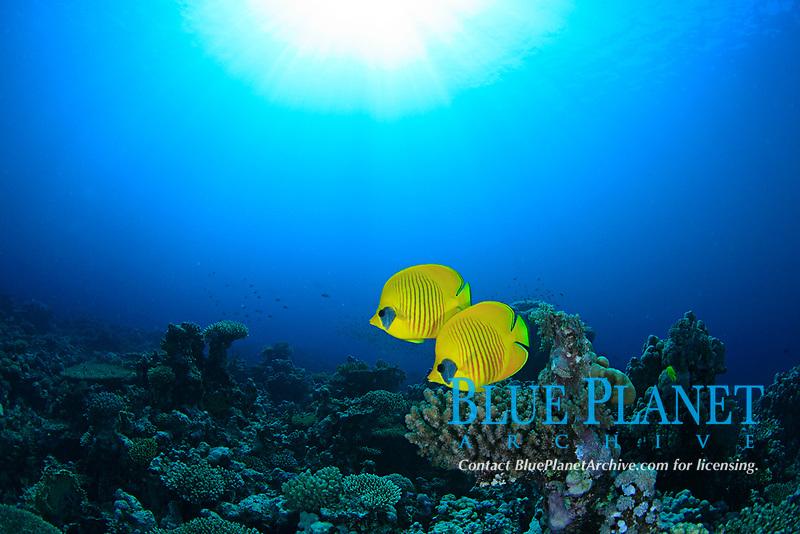 golden butterflyfish or bluecheek butterflyfish, Chaetodon semilarvatus, Red Sea, Egypt