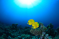 golden butterflyfish or bluecheek butterflyfish, Chaetodon semilarvatus, Red Sea, Egypt