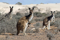 Westerse grijze kangaroe (Macropus fuliginosus) in Mungo NP, Australi'