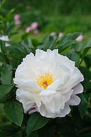 Paeonia 'James Kelway' (Peony)