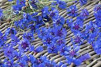 Kornblumen trocknen, Kräuterernte, Kornblumen-Blüten, Blüten, Blütenblätter. Kornblume, Korn-Blume, Zyane, Cyanus segetum, Centaurea cyanus, Cornflower, Bachelor´s Button, Le Bleuet, le Centaurée bleuet