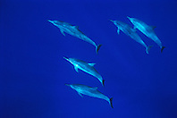 long-snouted spinner dolphins, Stenella longirostris, Kealakekua Bay, Big Island, Hawaii, Pacific Ocean