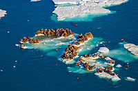 walrus, Odobenus rosmarus, herds resting on and swimming around chunks of pack ice during spring breakup, Chukchi Sea, off the National Petroleum Reserves, Alaska