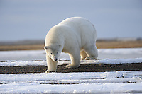 A polar bear approaches the shoreline along a barrier island outsidet Kaktovik, Alaska. Every fall, polar bears gather near the community, on the northern edge of ANWR, waiting for the Arctic Ocean to freeze. The bears have become a symbol of global warming.