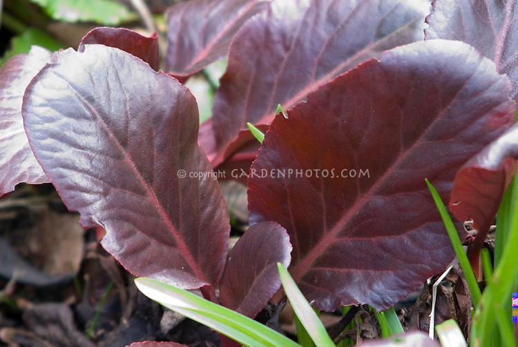Bergenia purpurascens foliage