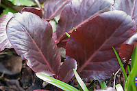 Bergenia purpurascens foliage