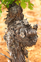 Domaine du Mas de Daumas Gassac. in Aniane. Languedoc. Old, gnarled and twisting vine. The Peyrafioc vineyard, the first one planted, in 1972. France. Europe. Vineyard.