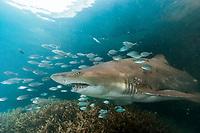 sand tiger shark, Carcharias taurus, aka grey nurse shark, spotted ragged-tooth shark, or blue-nurse sand tiger, with jacks, Chichi-jima, Bonin Islands, Ogasawara Islands, Natural World Heritage Site, Tokyo, Japan, Pacific Ocean