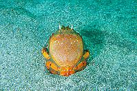 Kona crab, Rannina ranina, Futo, Sagami bay, Izu peninsula, Shizuoka, Japan, Pacific Ocean