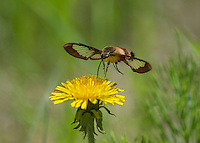 Hummingbird Clearwing Moth (Hemaris thysbe) nectaring on dandelion.  North America.  Summer.