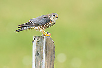 Merlin (Falco columbarius). Iceland. July.