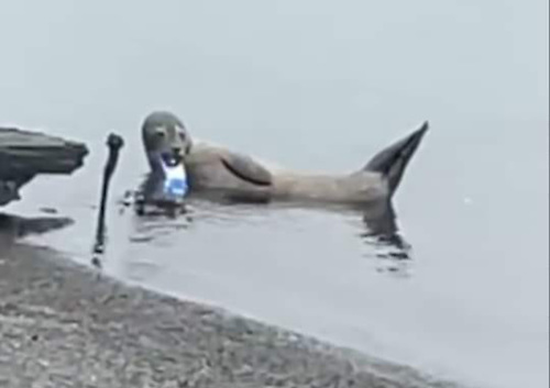 The young harbour seal with a drinks can stuck to its lower jaw wast first spotted in Belfast earlier this month