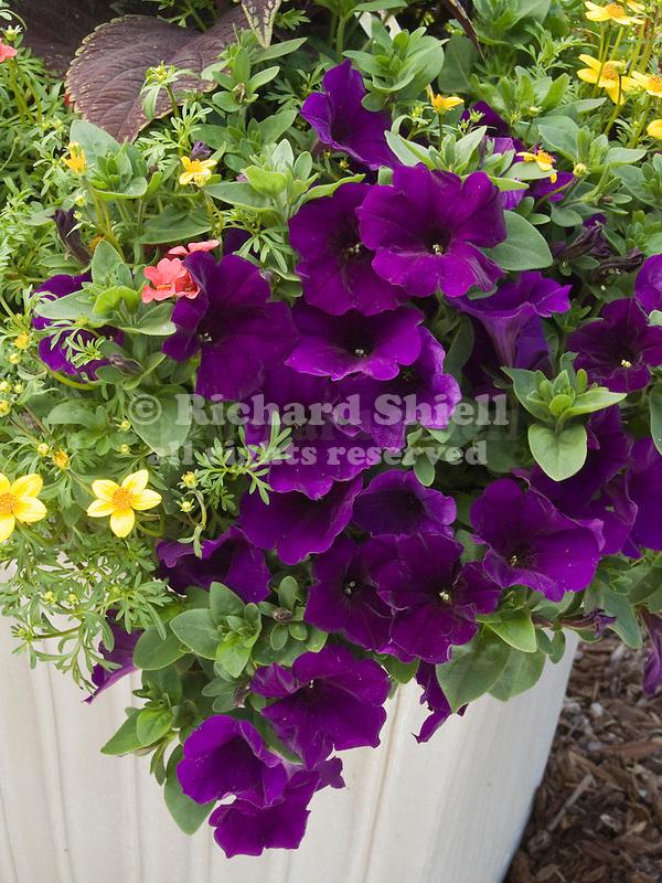 Petunia Supertunia Royal Velvet in pot