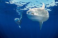 ocean sunfish, Mola mola, open ocean, California, USA, East Pacific