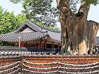 Zelkowa-Baum im Hwaseong Haenggung Palast in  der Festung-Hwaseong von Suwon, Provinz Gyeonggi-do, Südkorea, Asien, Unesco-Weltkultueerbe<br /> Zelkowa tree in Hwaseong Haenggung palace in  fortress Hwaseong, Suwon, Province Gyeonggi-do, South Korea Asia, UNESCO World-heritage