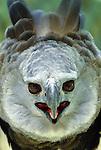Harpy Eagle, South America