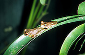 Monte Verde, Costa Rica. Two Rufous eyed Stream Frogs (Duellmonohyla rufioculis) on a bromeliad leaf.