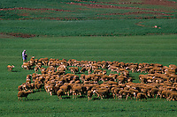 Europe/France/Auvergne/12/Aveyron/Env. de Camarès: Elevage ovin en pâturage