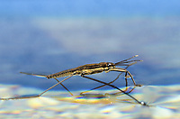 Wasserläufer, Wasserschneider, Schneider, Gerris spec., pond skater, water skipper, common water strider, Wasserläufer, Gerridae, water striders, water skippers, pond skaters, Les gerridés