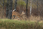 White-tailed buck chasing does during the rut.