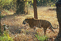 Bengal Tiger (Panthera tigris tigris) walking through forest, Bandhavgarh National Park, India.
