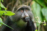 Blue Monkey, Cercopithecus mitis, eating leaves in Arusha National Park, Tanzania