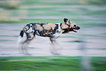 African Hunting Dog or Painted Hunting Dog (Lycaon pictus). South Luangwa National Park, Zambia.