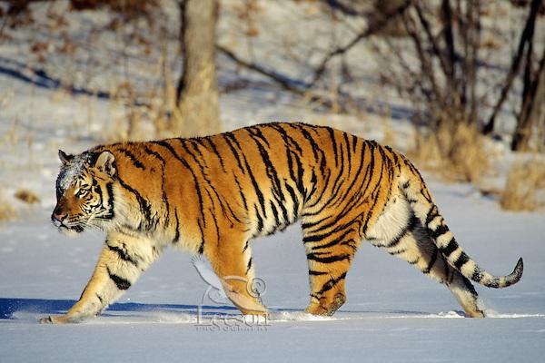 Siberian Tiger (Panthera tigris altaica) walking through snow.  Endangered Species.
