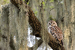 Damon, Texas; an adult Barred Owl perched on the branch of a large, live oak tree with spanish moss, in afternoon dappled light