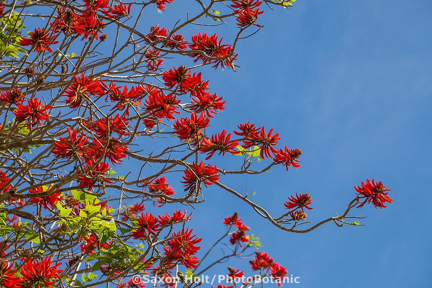 Erythrina x sykesii - red flowering Australian Coral Tree against blue sky in Leaning Pine Arboretum