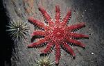 Spiny sun star on wood.