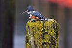 Belted kingfisher, Seattle, Washington