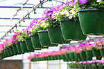 Hanging colorful potted flower plants in a greenhouse