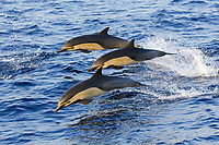short-beaked common dolphin, Delphinus delphis, leaping, Baja California, Mexico, Pacific Ocean
