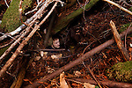 Mountain Lion (Puma concolor) biologist, Max Allen, inside den in large root system, Santa Cruz Puma Project, Santa Cruz, Monterey Bay, California