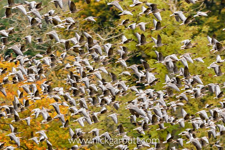 Flocks of pink footed geese (Anser brachyrhynchus) taking flight, near Udale Bay, Black Isle, Scotland, UK, October.