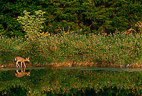 Young deer fawn walks along the side of a midwestern pond in afternoon light