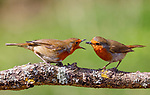 Pictured:  Sequence 1 of 9:  The male robin (right) passes the insect over to the female.<br /> <br /> A courting ritual between two robins is cut short - after the female drops an insect the male was trying to feed her.  The female stands ready to receive the fly in her open beak but after it is dropped both glance disappointedly at the floor, and the male flies down in an attempt to retrieve it.<br /> <br /> This exchange of food is an integral part of the courtship between robins and was captured by professional photographer Ivor Ottley in Suffolk.  SEE OUR COPY FOR DETAILS.<br /> <br /> Please byline: Ivor Ottley/Solent News<br /> <br /> © Ivor Ottley/Solent News & Photo Agency<br /> UK +44 (0) 2380 458800