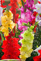 Gladiolus mixed variety colors gladioli summer bulb flowering, red, yellow, gold, pink, lavender, green