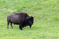 Buffalo  at Yellowstone National Park, Wyoming