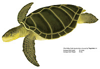 Olive Ridley turtle, Lepidochelys olivacea, illustration by the artist Wyland