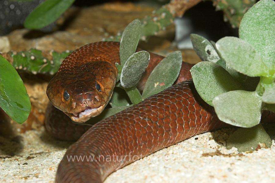 Mosambik-Speikobra, Speikobra, Spei-Kobra, Kobra, Naja mossambica pallida, Mozambique spitting cobra