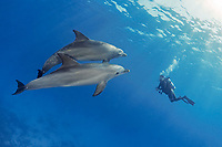 Indo-Pacific bottlenose dolphin, Tursiops aduncus, and scuba diver, Yellow Fish Reef, Abu Nuhas, Strait of Gubal, Egypt, Red Sea, Indian Ocean, MR
