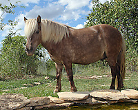 Shetland ponies were domesticated around 500 B.C. and have been used all over the world for diverse purposes, from a riding horse to a plow or pack pony. One of the most popular horses in the world.
