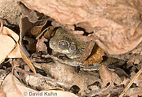 1025-0903  Torpid Eastern Gray Treefrog (Grey Tree Frog), Hibernating Under Leaf Litter on Forest Floor, Hyla versicolor  © David Kuhn/Dwight Kuhn Photography