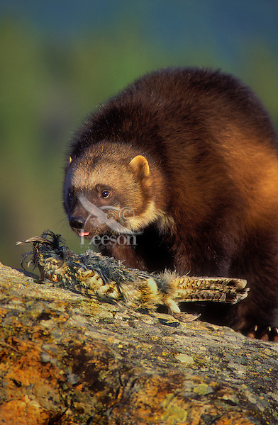 WOLVERINE with Ruffed Grouse..Summer. Rocky Mountains..(Gulo gulo).