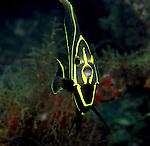 French angelfish juvenile,Pomacanthus paru, Blue Heron Bridge